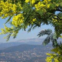 красоты цветения мимозы :: Sabina