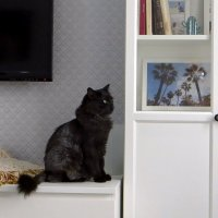 Седя, Седечка... Седой - самый добрый и ласковый котик :: Татьяна Смоляниченко