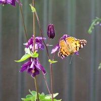 Бабочка на водосборнике :: Alexs Klinkov