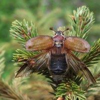 Майский жук :: Зоя Мишина