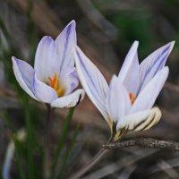 Первые цветы. :: Vladimir Lisunov