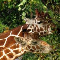 Жирафы :: Сергей Карачин