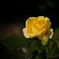Роза :: Инна *