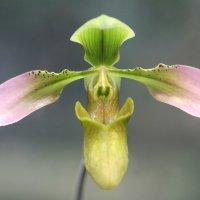 Венерин башмачок изящный :: ZNatasha -
