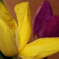 Что в сердце нераскрытого тюльпана? :: Татьянка *
