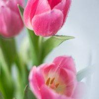 Тюльпаны :: Julia Volkova