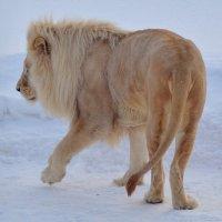 Гулял по снегу белый лев ... :: Татьяна Каневская