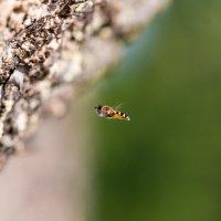 Полосатая муха. :: Юрий Харченко