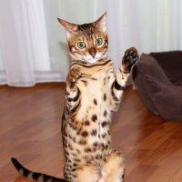 Бенгальская кошка :: Laryan1