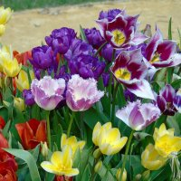 Такие разные тюльпаны :: Наталья Цыганова