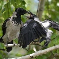 На суку сидит ворона, кормит воронёночка... :: Солоненко Лидия