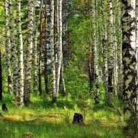 Берёзовый лес :: Сергей Чиняев