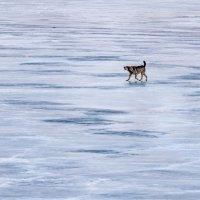 Собачка на Амурском льду :: Igor Volkov