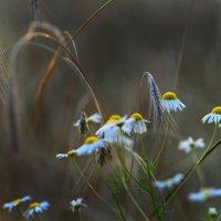 Ромашки на закате в хлебном поле :: Вячеслав Побединский