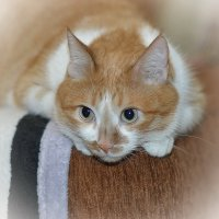 Любимая кошка Сима :: Игорь Денисов