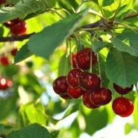 Созрели вишни... :: Любовь Р
