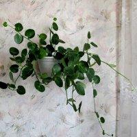 Циссус круглолистный - это лиана с жёсткими стеблями :: Татьяна Смоляниченко