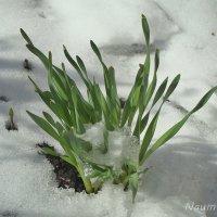 Жизнь под снегом :: Лидия (naum.lidiya)