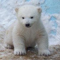Медвежонок :: Владимир Шадрин