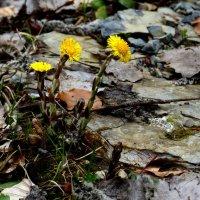 весна желта ;-) :: Heinz Thorns