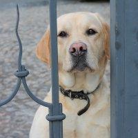 Дашка, собака, ротвейлер, за решеткой..... :: Ирина Чернова