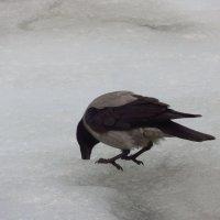 Трудно свой хлеб добывала ворона :: Андрей Лукьянов