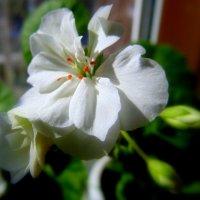 Белая герань . :: Мила Бовкун
