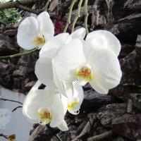 Чиста и прекрасна душа орхидеи :: Galaelina ***