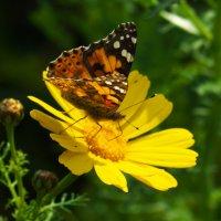 Бабочка из Африки перелёт :: Александр Деревяшкин