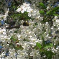 Когда цветет вишня.. :: Елена Семигина