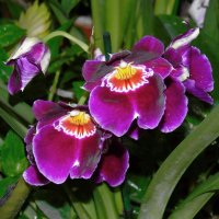 Орхидея Мильтония :: Наталья Цыганова