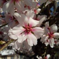 Цветок Миндаля :: Giant Tao /
