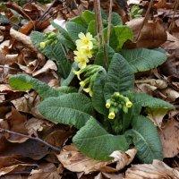 Первоцвет весенний,  Primula veris :: Heinz Thorns