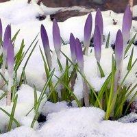 Суровая весна.  Крокусы Царского Села. :: Марина Ильина