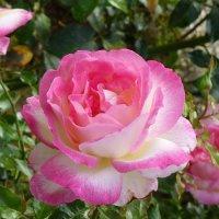 Нежная роза :: Лидия Бусурина