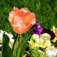 Солнечный тюльпан :: Светлана