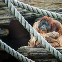 Orangutan :: Игорь Осипенко