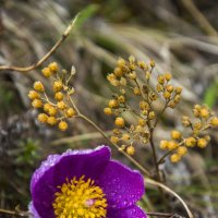 Алтайские первоцветы :: Татьяна Степанова