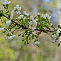 Веточка вишни :: Ольга Винницкая (Olenka)