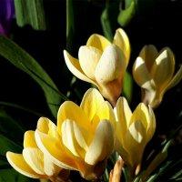 Нежно кремовые первоцветы...напоминание о тепле. :: Mila .