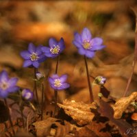 Пробуждение печеночниц в лесу. :: Елена Kазак