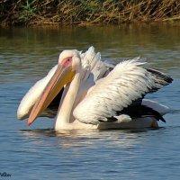 Пеликаны :: Николай Волков