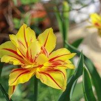 Весена на клумбе :: Светлана Карнаух