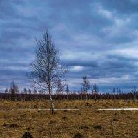 Одинокая берёза :: Виктор Корочкин