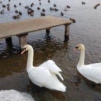 Лебеди :: Николай Дони