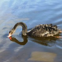 Чёрный лебедь на пруду :: Лидия Бусурина