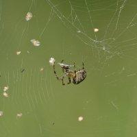 Хозяин паутины :: Солоненко Лидия