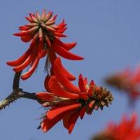 Цветы кораллового дерева :: Светлана Карнаух