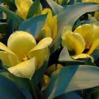 Жёлтые тюльпаны :: Наталья Цыганова