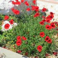 Маки в городе Ашкелоне :: Герович Лилия